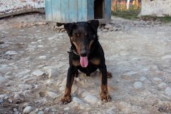 A small black Doberman sits on a chain leot by pushing the tongue stock photo