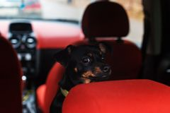 A small black dog in the car waiting for the owner royalty free stock photography