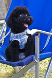 Small black dog on a chair Stock Image