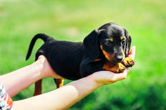 A small black dog lies on the hands of a girl. Female hands holding a dachshund puppy on a background of green grass Royalty Free Stock Image