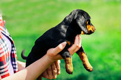 A small black dog lies on the hands of a girl. Female hands holding a dachshund puppy on a background of green grass Royalty Free Stock Images