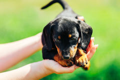 A small black dog lies on the hands of a girl. Female hands holding a dachshund puppy on a background of green grass Stock Image