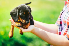 A small black dog lies on the hands of a girl. Female hands holding a dachshund puppy on a background of green grass Stock Photos