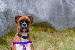 An animal sits, a red-haired dog with a black collar and a blue leash, green grass and a gray wall in the background stock photography