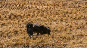 Small black dog looking for something in field. Of cut hay on a bright sunny day royalty free stock image