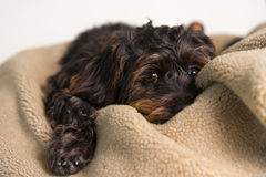 Small black dog lying on blanket Royalty Free Stock Photo