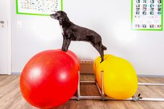 Small black dog in physical therapy Royalty Free Stock Photos