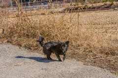 Small black dog on rural road. Next to a field of brown grass looking at the camera with lower teeth visible Royalty Free Stock Photos