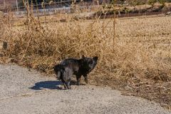 Small black dog on rural road. Next to a field of brown grass looking at the camera Royalty Free Stock Image
