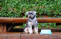 Small black dog sitting on the bench with blue bowl Royalty Free Stock Images