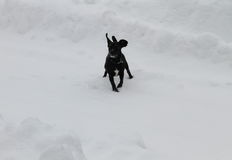 Small black dog on the snow Stock Images