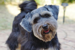 Small black dog with suspect face Royalty Free Stock Photo
