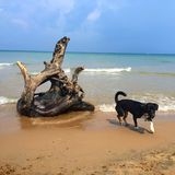 Dog on the beach with a large stump royalty free stock photography