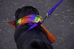 Gay dog. Small black dog wearing the rainbow scarf on gay pride event in uk town.Lgbt animals.Cute pets uk.Fasionable dog outfit.Out and proud.Dog pride.England stock photography