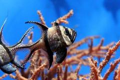 Small black fish. In coral stock photo