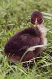 Small black fluffy chicken in the grass Royalty Free Stock Photos