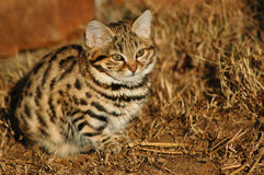 Small Black Footed Cat ( felis negripes ). Rare small wildcat of South Africa called the Black Footed Cat (felis nigripes) or the Anthill Tiger. Also known as Stock Photos