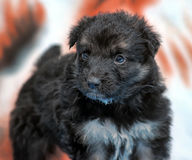 Small black furry puppy Royalty Free Stock Images