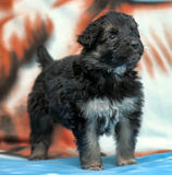Small black furry puppy Royalty Free Stock Image