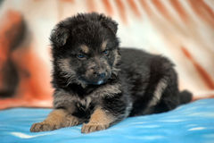 Small black furry puppy Stock Photography