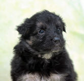 Small black furry puppy Royalty Free Stock Photos