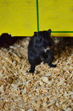 Small Black Gerbil Climbs Out from Under Its Shelter Royalty Free Stock Image