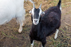 Small black goat looking at you Royalty Free Stock Photos