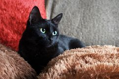 a small black green-eyed cat lies on colorful fluffy pillows Stock Image