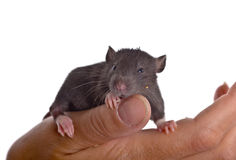 Small black infant rat Stock Photography