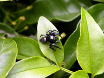 Small black Jumping Spider Stock Image