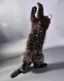 Small black kitten jumping Royalty Free Stock Images