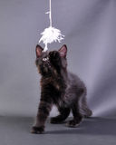 Small black kitten playing with toy Stock Photo