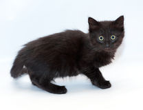 Small black longhair kitten on gray background Stock Photography