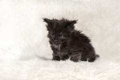 Small black maine coon kitten with blue eyes on white background Royalty Free Stock Photography