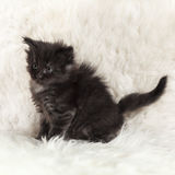 Small black maine coon kitten posing on white background fur Stock Images