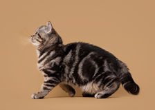 Small black marble british kitten Royalty Free Stock Images
