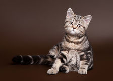 Small black marble british kitten Stock Images
