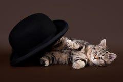 Small black marble british kitten. On dark brown background Stock Photography