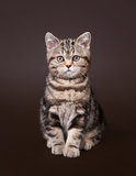 Small black marble british kitten Royalty Free Stock Photo