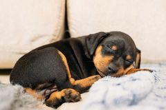 Small Black Miniature Pinscher Zwergpinscher, Min Pin Puppy Dog. Sleeping On Floor Royalty Free Stock Image