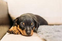 Small Black Miniature Pinscher Zwergpinscher, Min Pin Puppy Dog. Sleeping On Floor Royalty Free Stock Photo