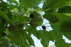 Small black mulberries among lush leaves Royalty Free Stock Photos
