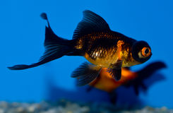 Small black and orange Telescope eye goldfish. Young black and gold Demkin goldfish in tropical aquarium with blue background. Carassius auratus sideview. Dragon Stock Images