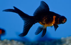 Small black and orange Telescope goldfish. Young Orange and black Demkin goldfish in tropical aquarium with blue background. Carassius auratus sideview Royalty Free Stock Photos