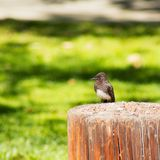 Small black bird with white belly resting on a tree trunk in the park; black phoebe,. Small Black Phoebe bird with white belly resting on a tree trunk in the Stock Photo