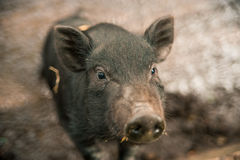Small black pig. Royalty Free Stock Photo