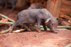 Small black Pig. The black pig in Lahu village (North Tayland Stock Photos