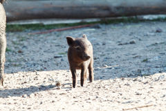 Small black pig Royalty Free Stock Photos