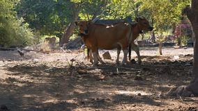 Small black pig running in front of cows, rural life. Small black pig running in front of cows, rural village life. Dry yard with sticks and stones, green trees stock footage