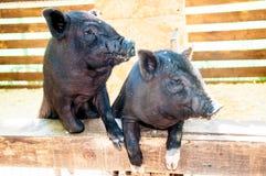 Small, black piglet Stock Photo